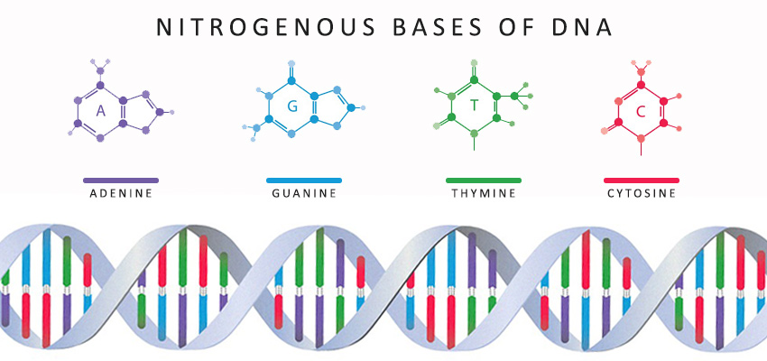 Nitrogenous bases of DNA